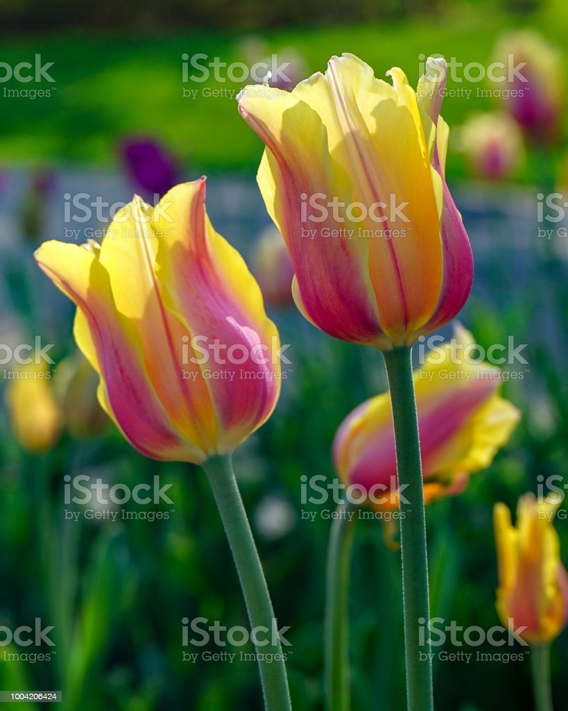 Pink and Yellow Tulips with dark green background stock photo