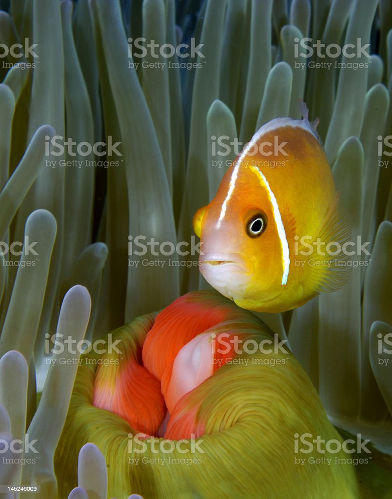 Pink Anemone Fish royalty-free stock photo