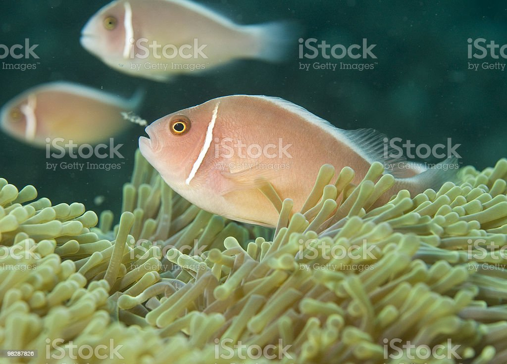 pink anemone fish,(Amphiprion perideraion) royalty-free stock photo