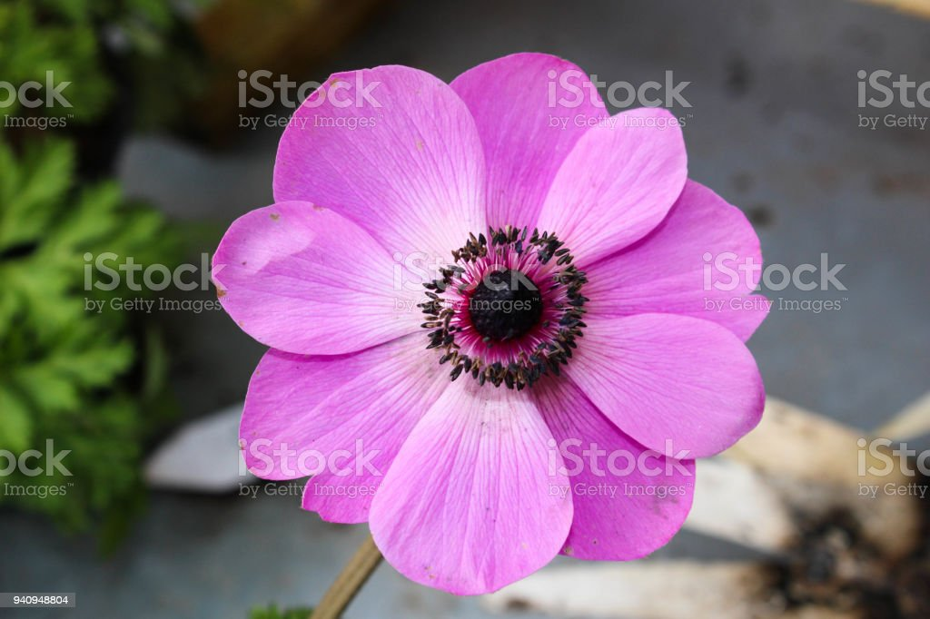 Pink anemone flower arial view stock photo more pictures of pink anemone flower arial view royalty free stock photo mightylinksfo