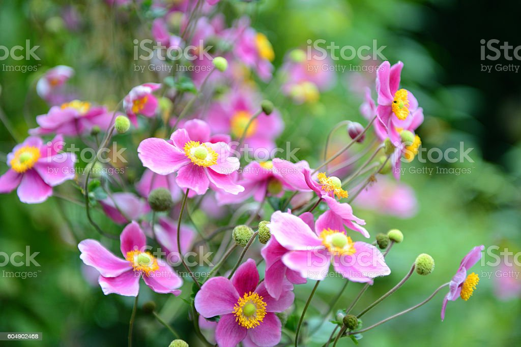 pink anemone flower in blossom stock photo