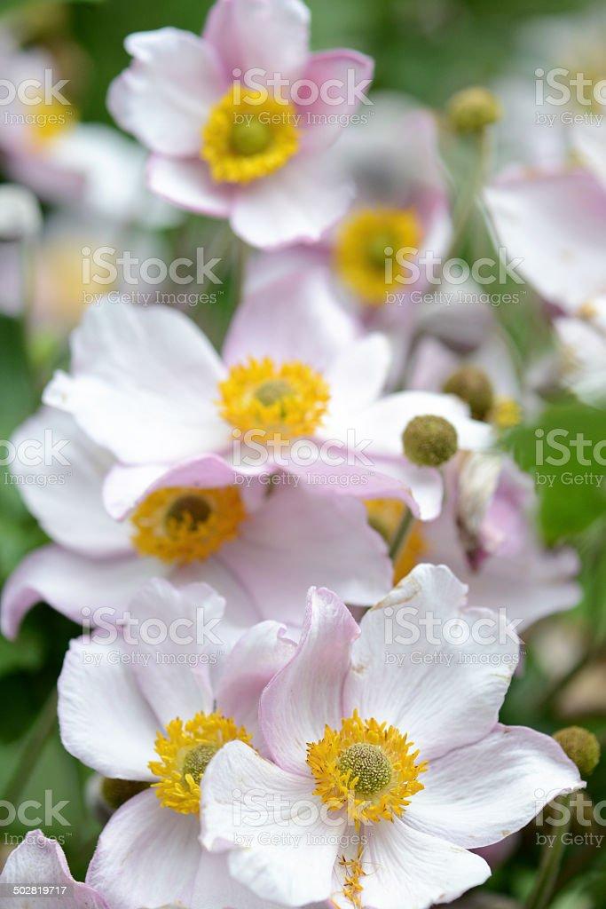 pink anemone flower (Anemone hupehensis) stock photo
