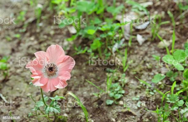 Pink anemone picture id653344538?b=1&k=6&m=653344538&s=612x612&h=aqjgtkvwg2hilaqgib2hyju3 n9 dos9lfxmsetwwde=