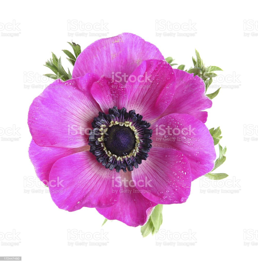 Pink anemone - view from above stock photo