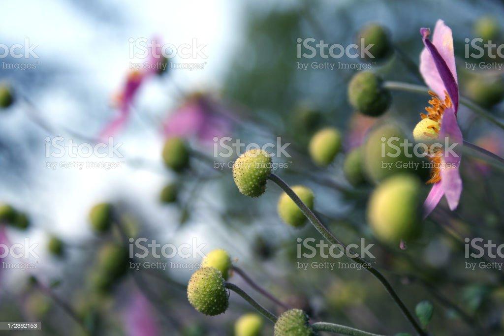 Pink Anemones royalty-free stock photo