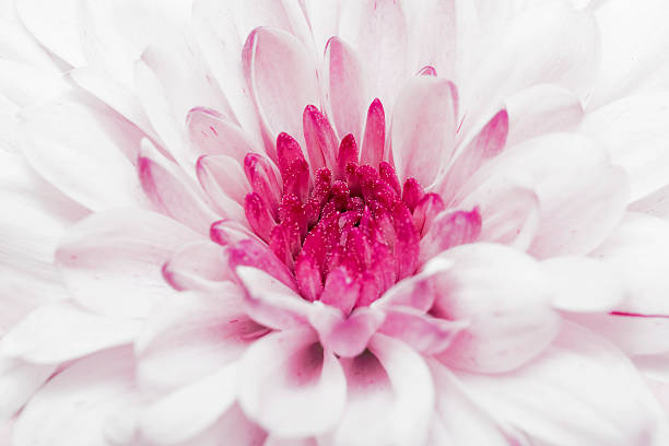 pink annealed Chrysanthemum stock photo