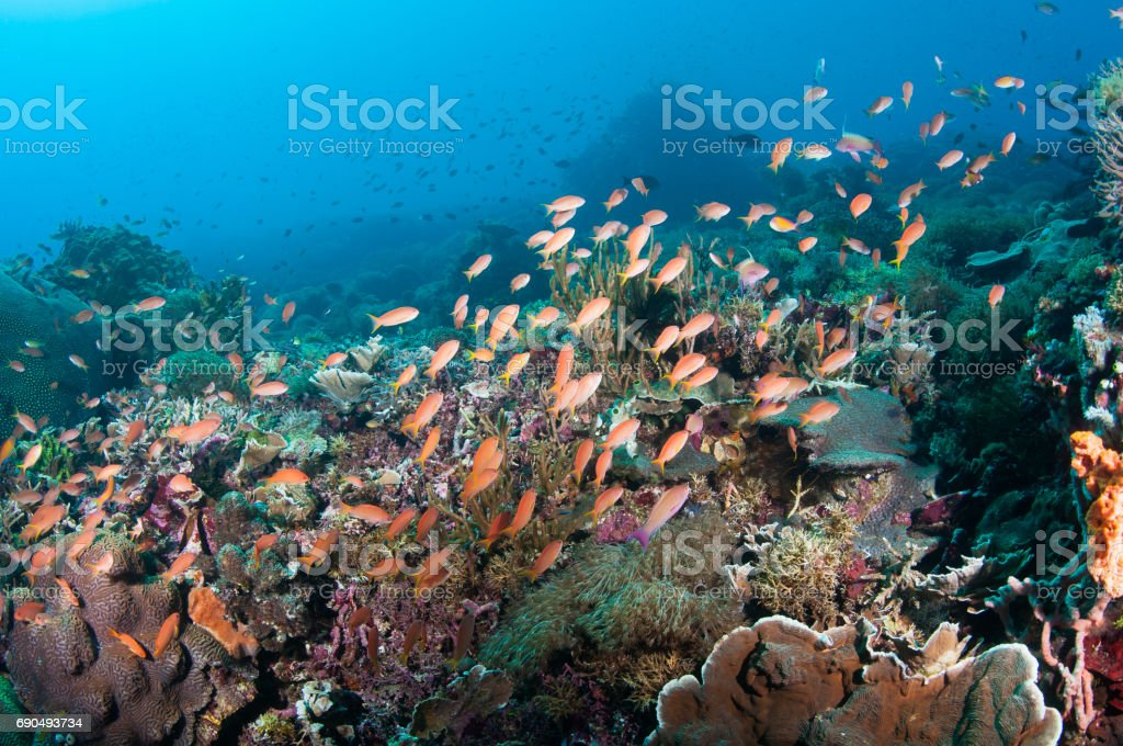 Pink anthias with yellow tails fill the reef with color. stock photo