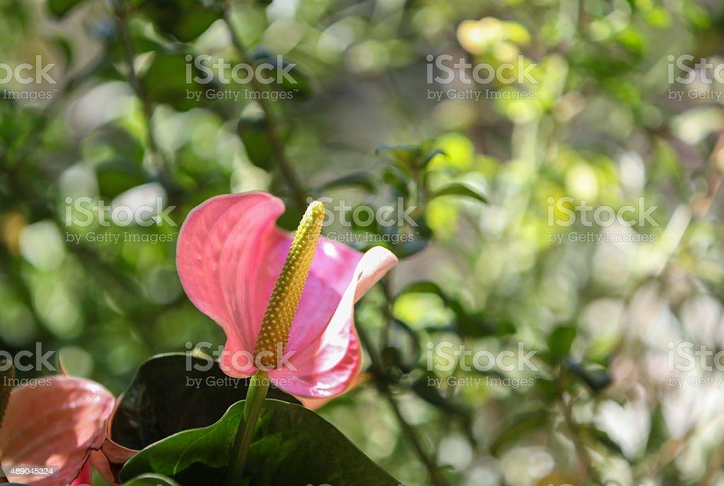 Rose fleurs d'anthurium, également appelé the flamingo lily - Photo