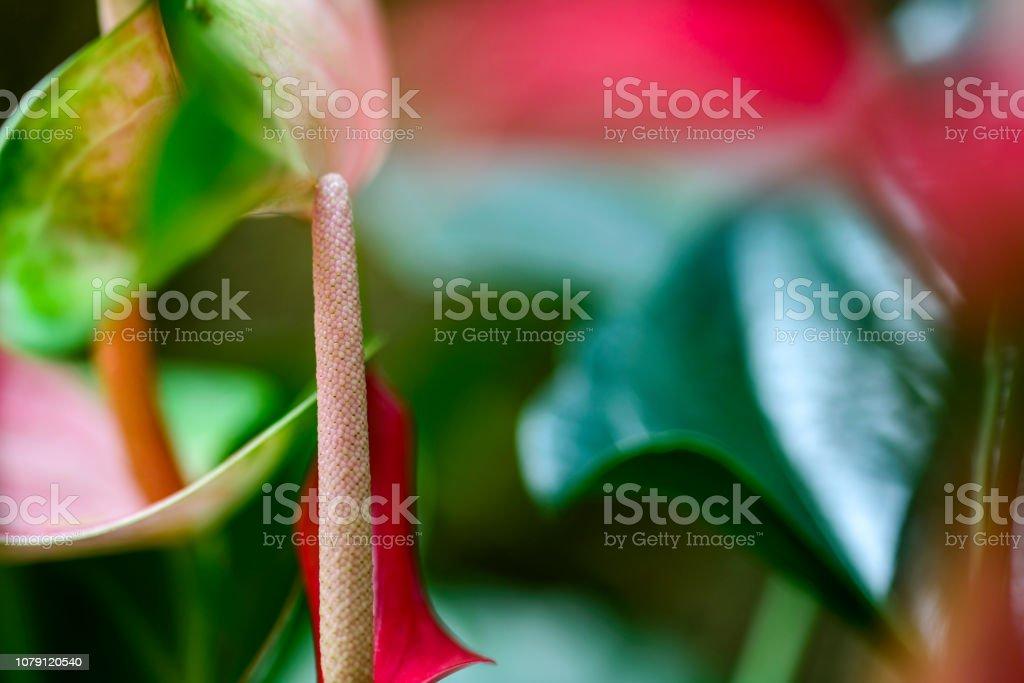 Pink Anthurium flower in botanic garden