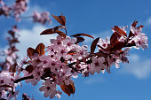 Pink apple blossoms 7