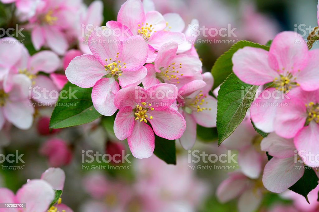 Pink apple blossoms blooming in the spring stock photo