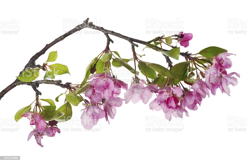 pink apple-tree isolated blossoming branch royalty-free stock photo