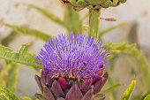 Pink artichoke with the big flower on the bush