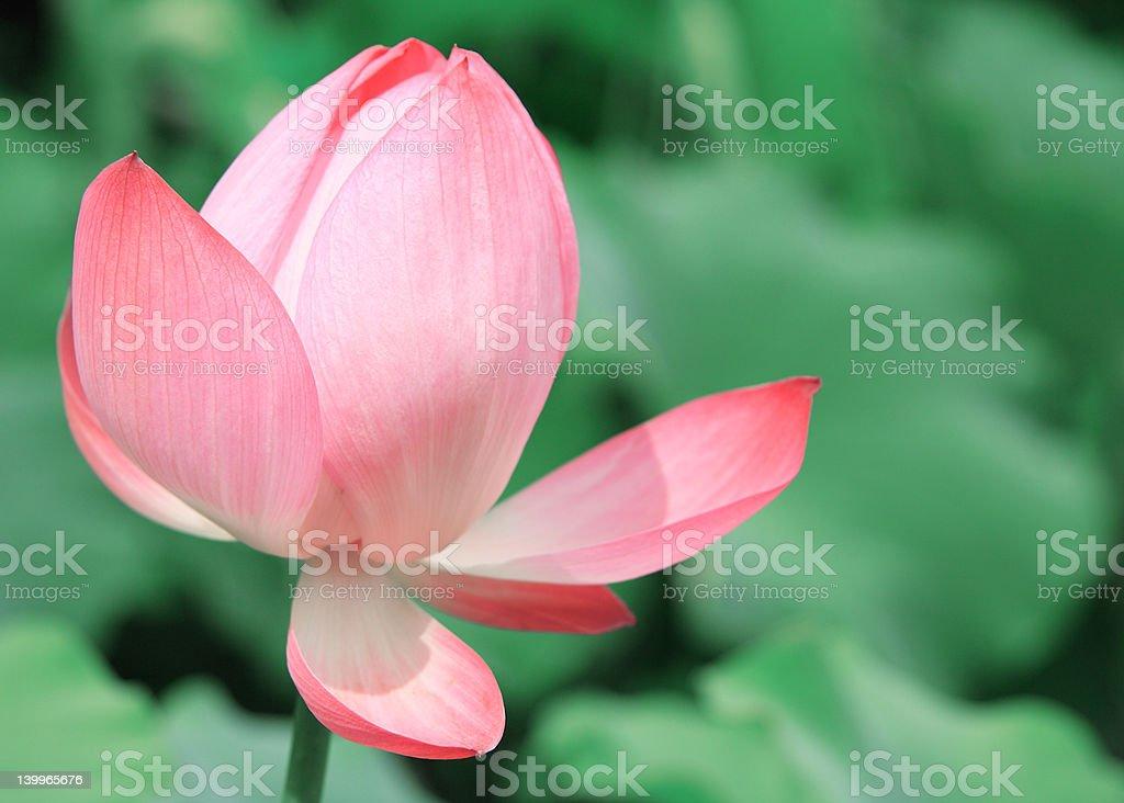 Pink Asian Lotus Flower royalty-free stock photo