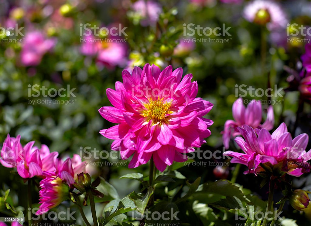 Pink Asiatic Lily with Buds in a Garden stock photo