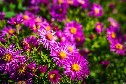 Pink aster flower blooming in the garden. Selective focus. Shallow depth of field.