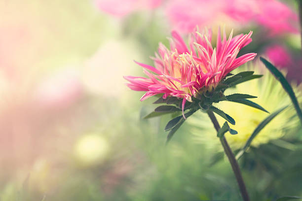 Pink Aster flower stock photo