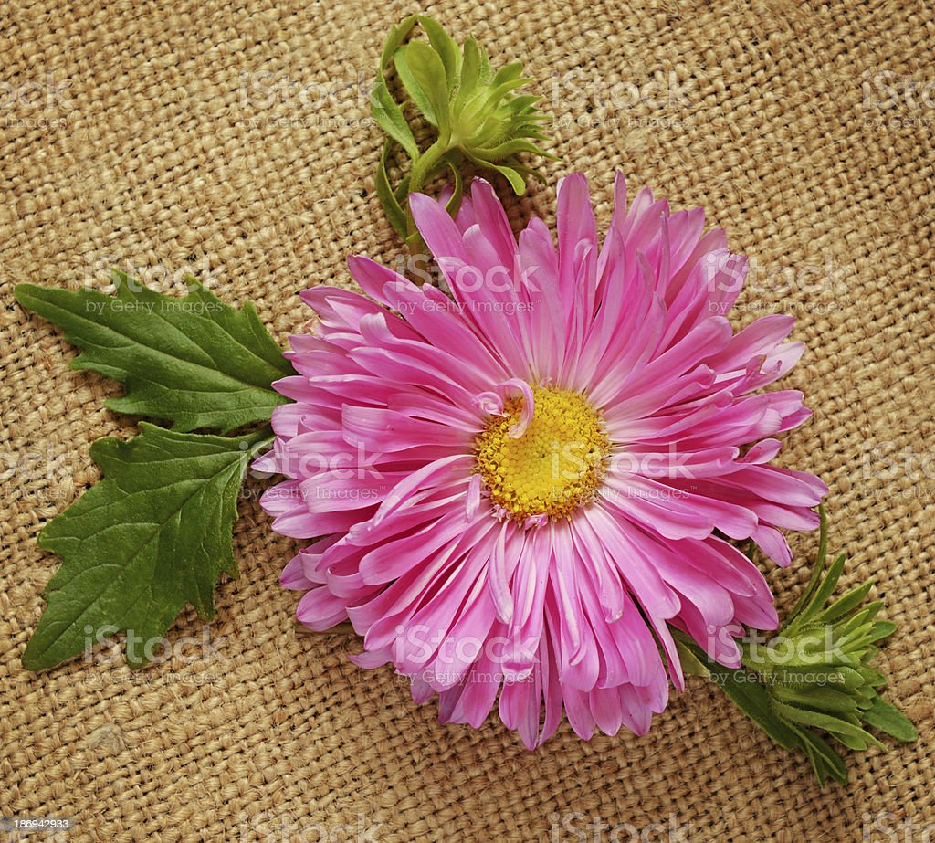 Pink aster on canvas royalty-free stock photo