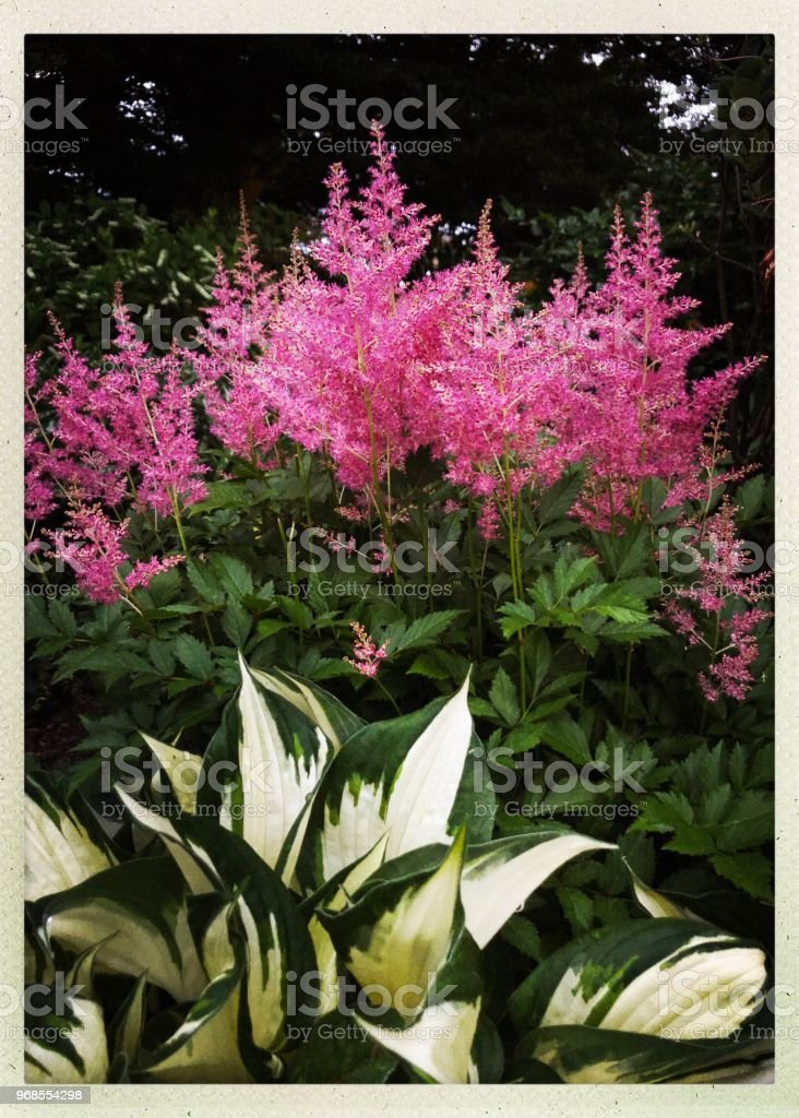 Pink Astilbe and Hosta in Garden stock photo