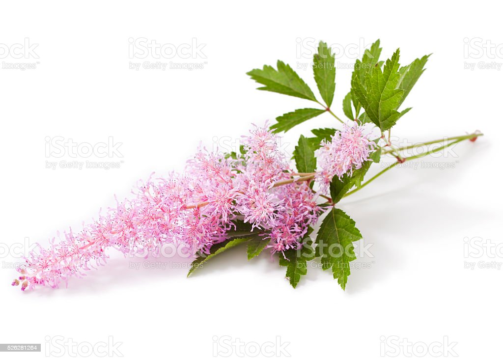 Pink Astilbe flower stock photo
