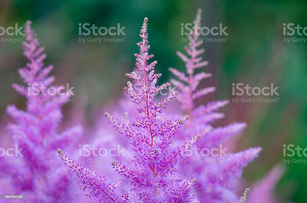 Pink Astilbe flowers closeup stock photo