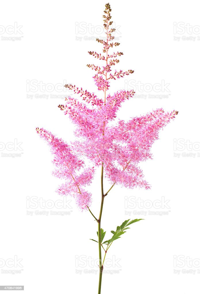 Pink Astilbe stock photo