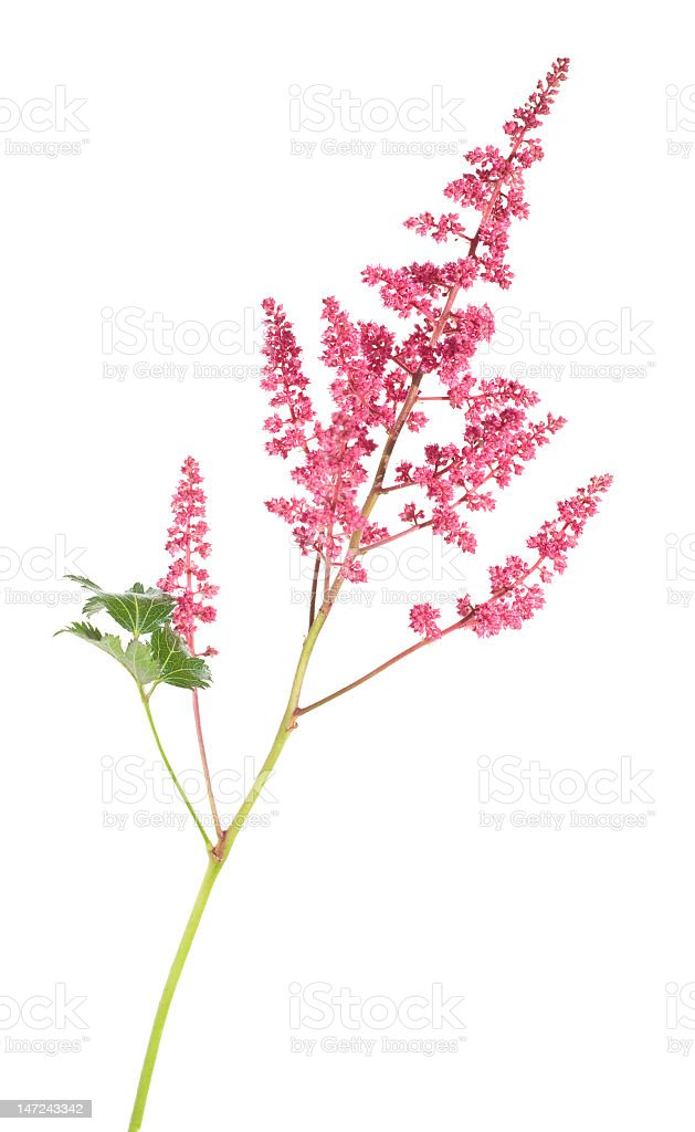 Pink astilbe with leaves on white background stock photo