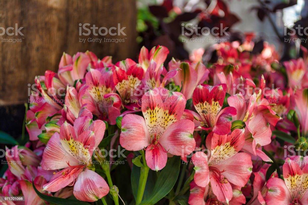 Pink Astromelia Flowers in a garden – zdjęcie