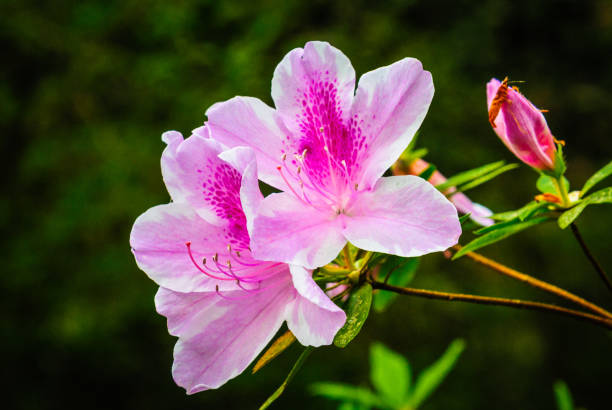 Pink Azalea Blossom Two azalea blossoms and a bud about to open in a Charleston garden. azalea stock pictures, royalty-free photos & images