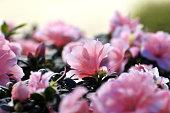 Blossom pink Azalea Bush