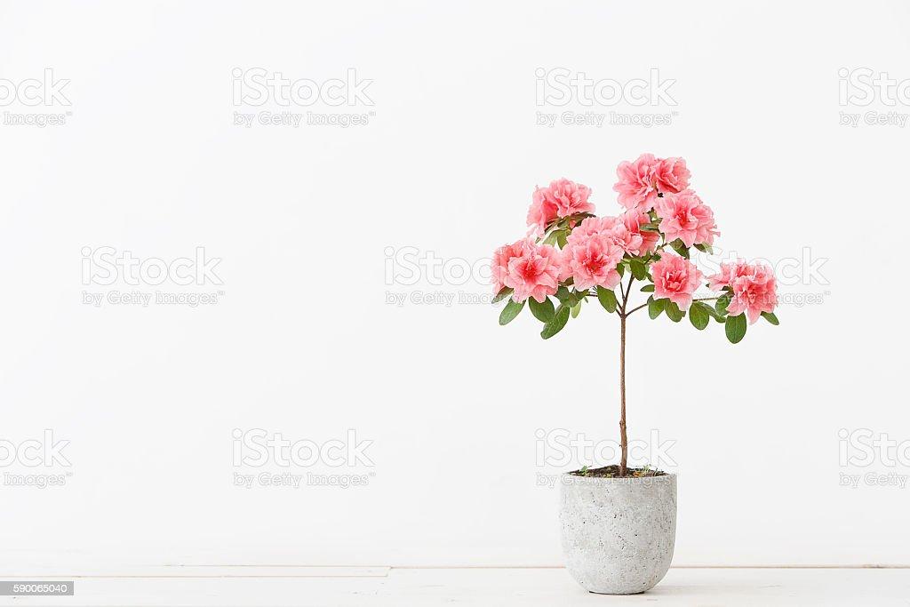 Pink azalea flower in a concrete pot stock photo