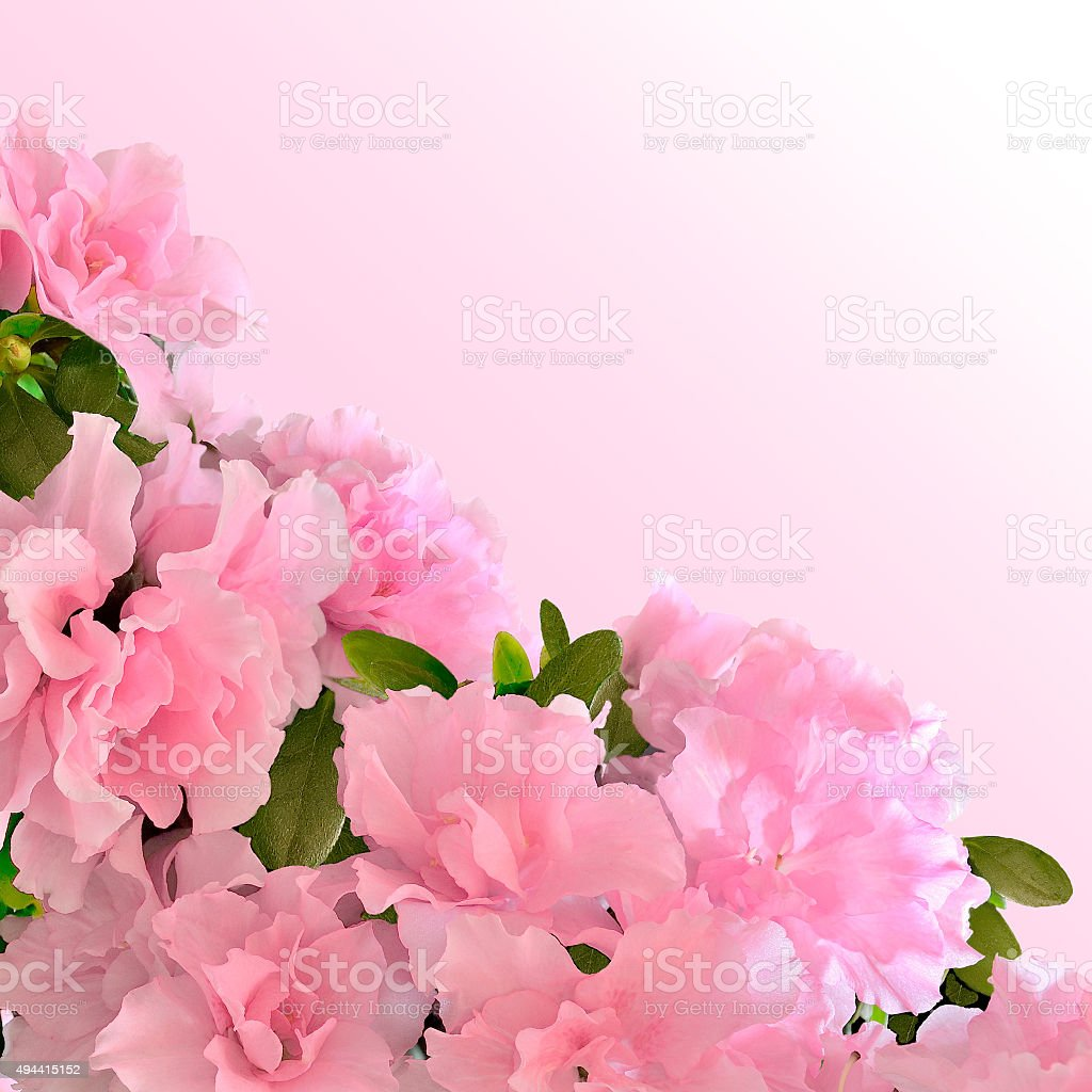 Pink Azalea Flowers In Bloom Stock Photo More Pictures Of 2015