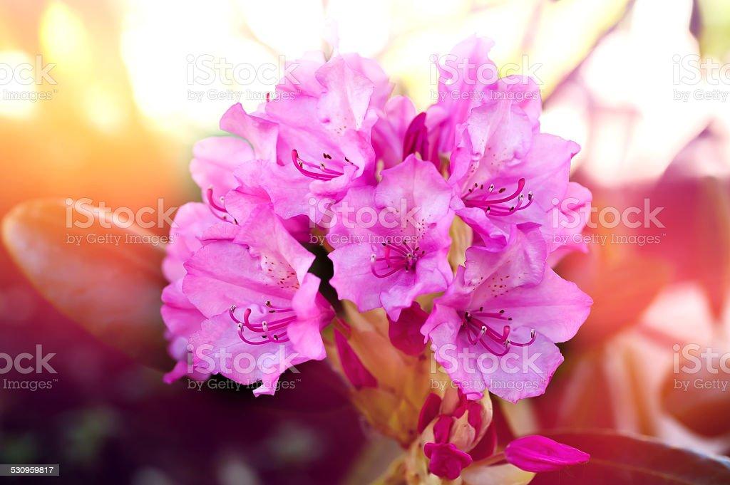 Pink azalea flowers stock photo