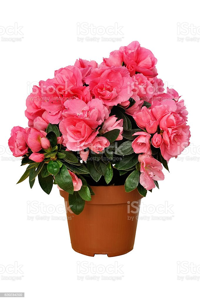 pink azalea in a pot isolated on white stock photo