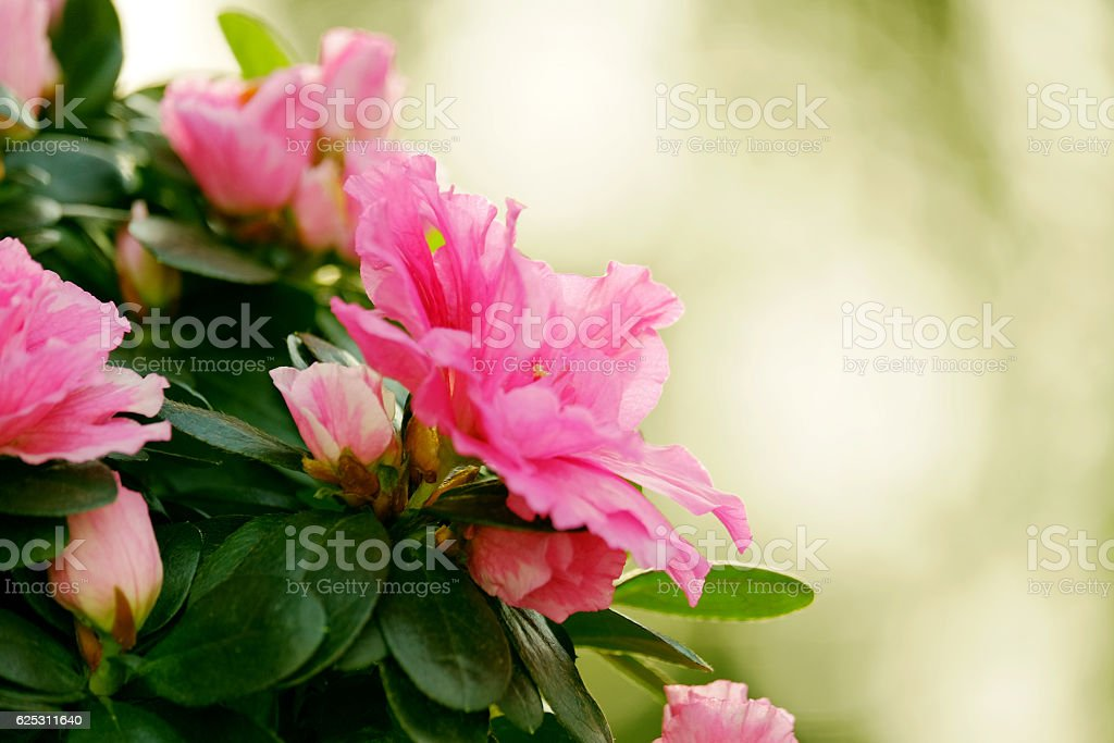 Pink azalea on a blurred background stock photo