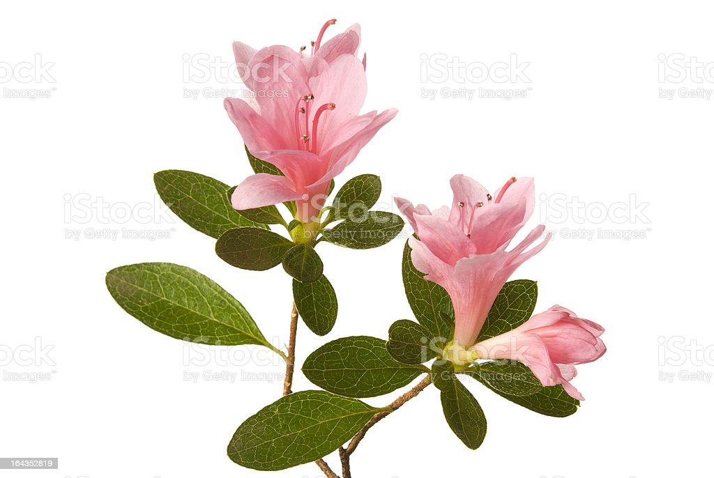 Pink azalea on a white background. stock photo