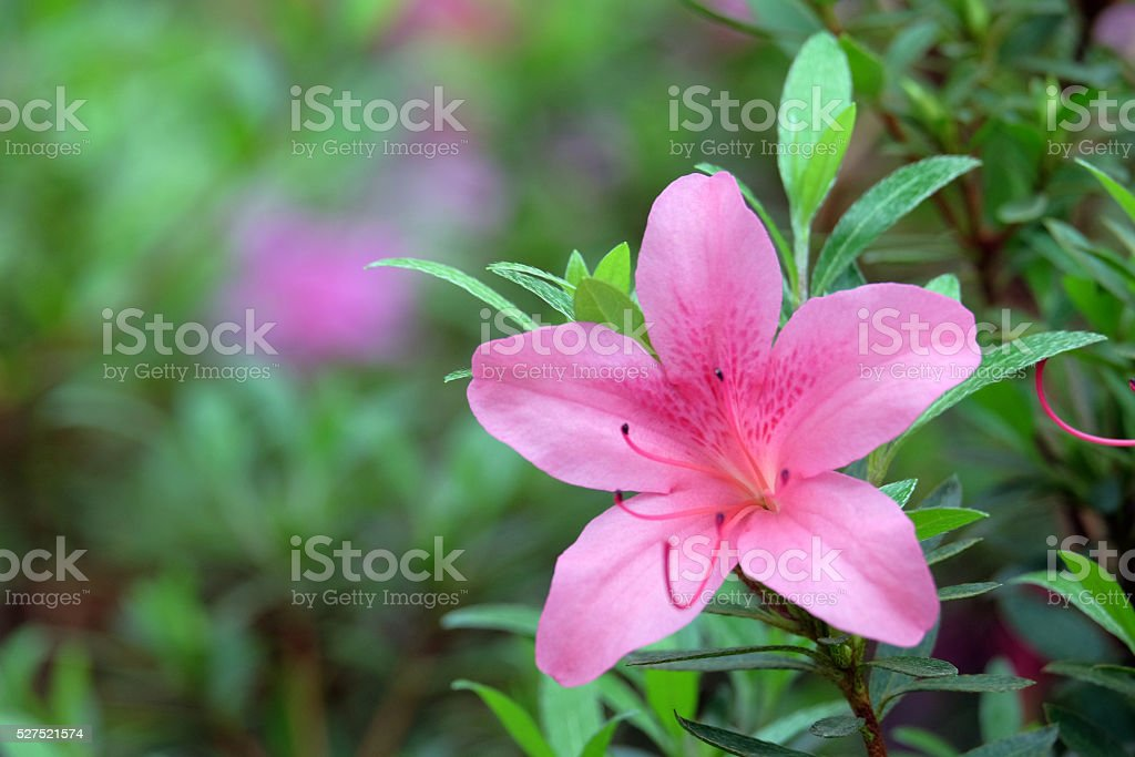 Pink azalea on green stock photo