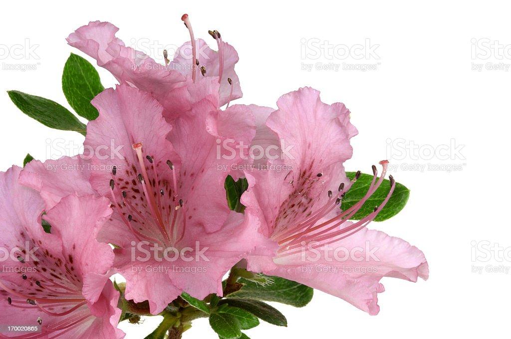 Pink azalea on white backgrounds. stock photo