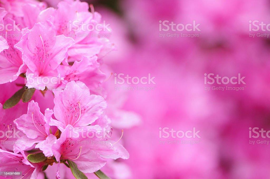 Pink azalea bildbanksfoto