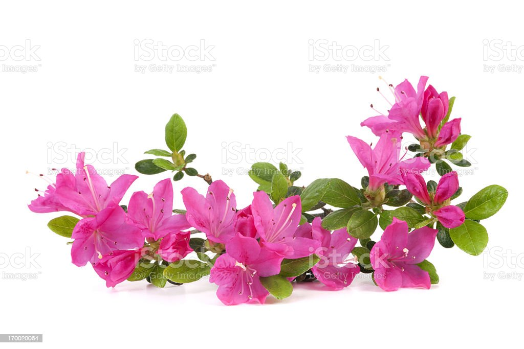 Pink Azalea stock photo