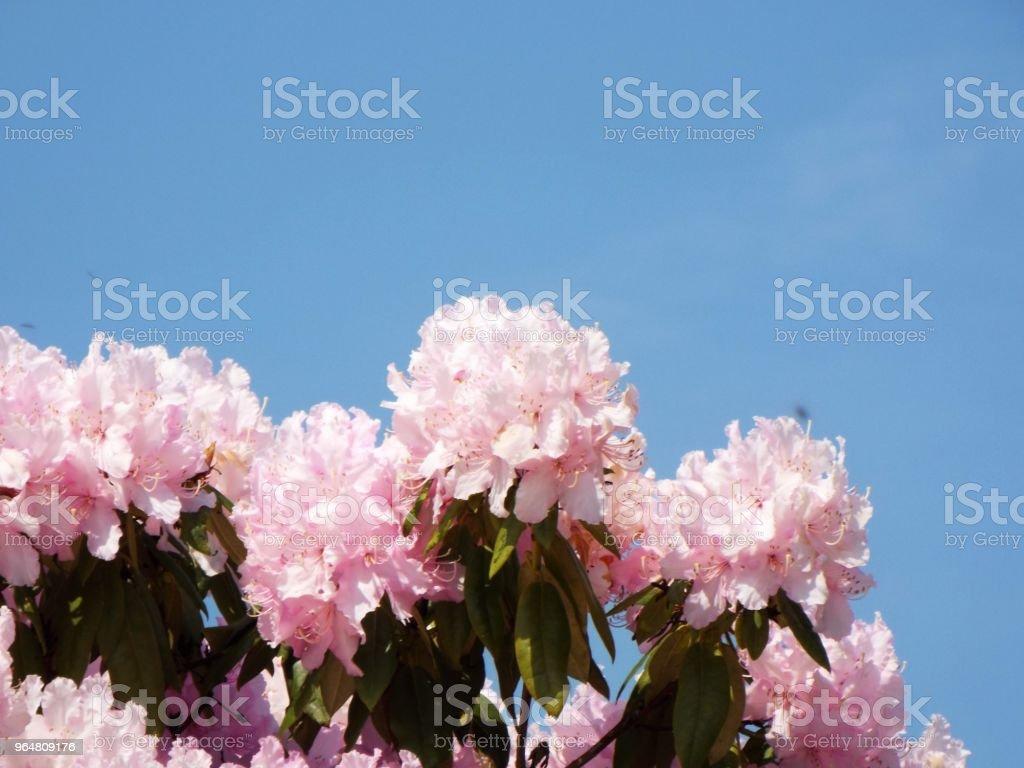 Pink Azaleas against sky background royalty-free stock photo