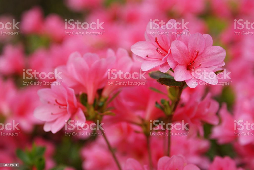 Pink azaleas, Coral Bells (Kurume hybrid) royalty-free stock photo