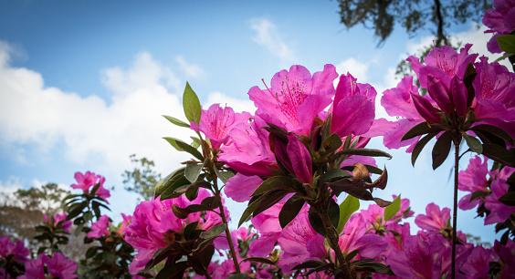 Pink Azaleas in Bloom