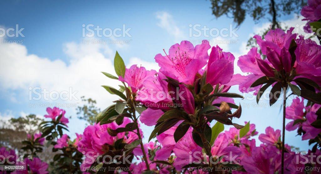 Rosa azaleor blommar bildbanksfoto
