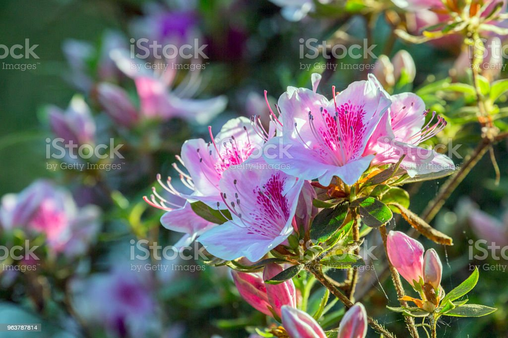 Pink Azaleas in springtime with selective focus. stock photo