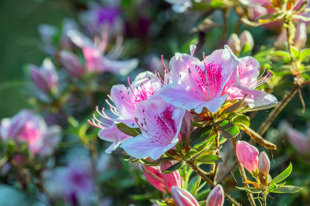 Pink Azaleas in springtime with selective focus. Close up of Pink Azaleas in springtime with selective focus. Azaleas are flowering shrubs in the genus Rhododendron. azalea stock pictures, royalty-free photos & images
