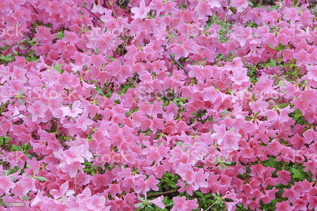 Pink azaleas royalty-free stock photo