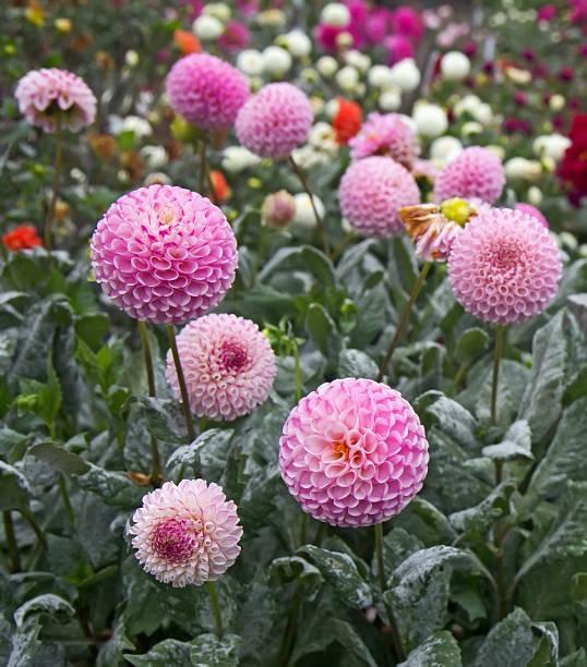 Dálias de bola-de-rosa no jardim de Dália. - foto de acervo