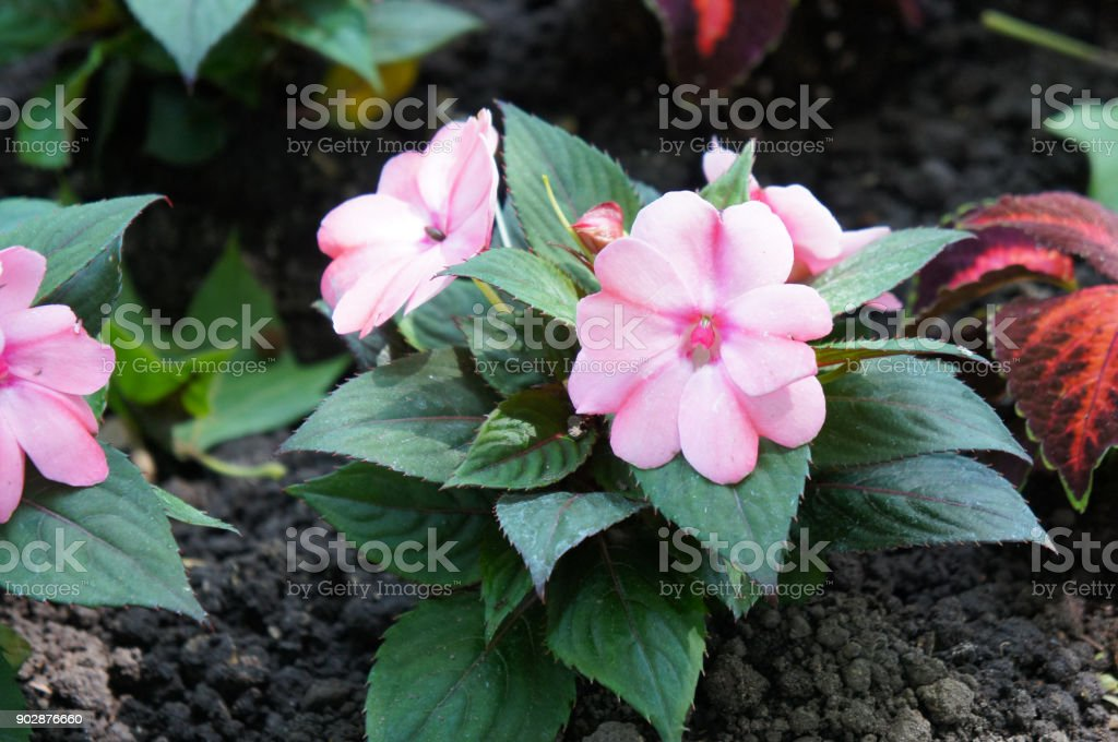 Pink balsam or Impatiens hawkeri flower with green on soil stock photo