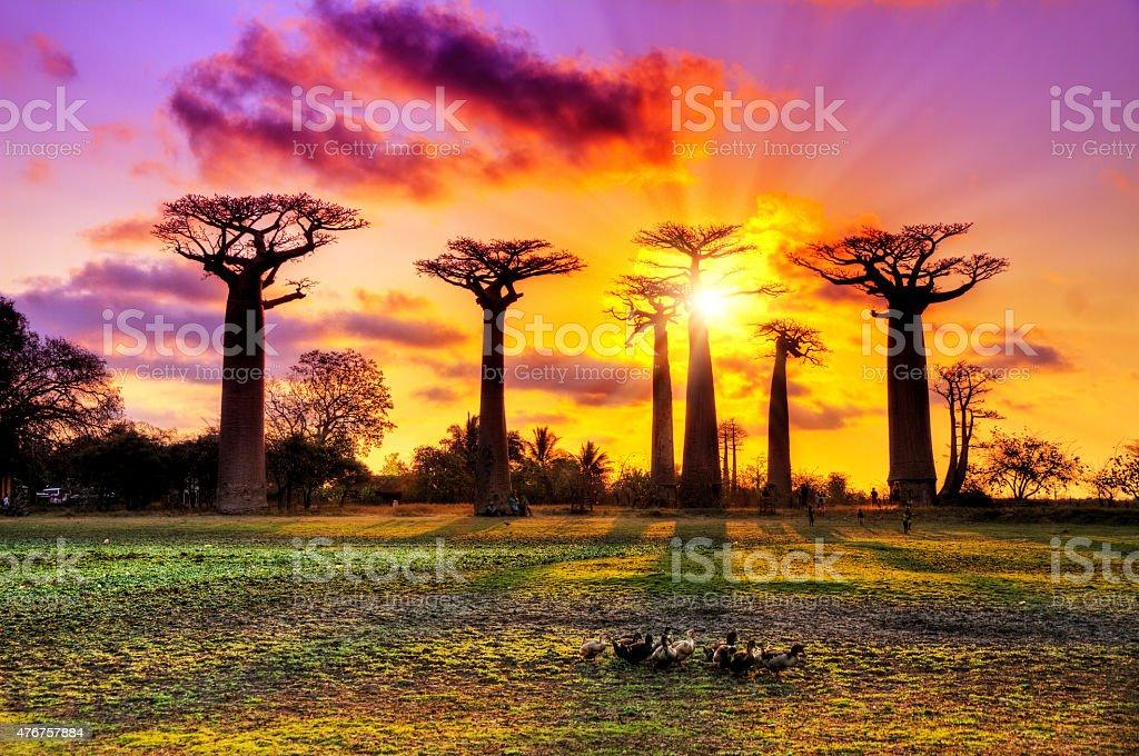 Pink Baobabs bildbanksfoto